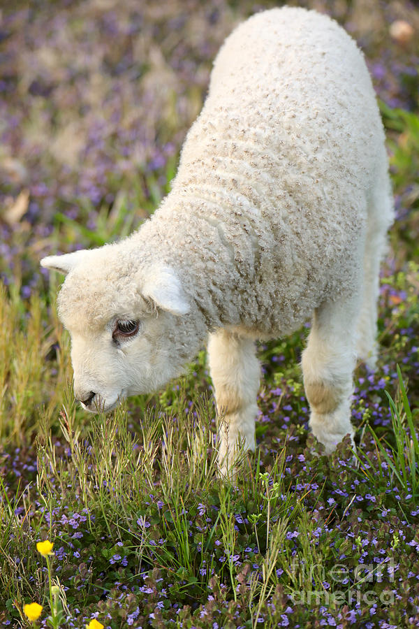 A New Lamb by Rachel Morrison