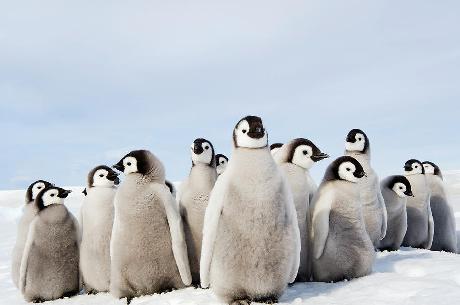A Nursery Group Of Emperor Penguin Photograph by Mint Images - David Schultz
