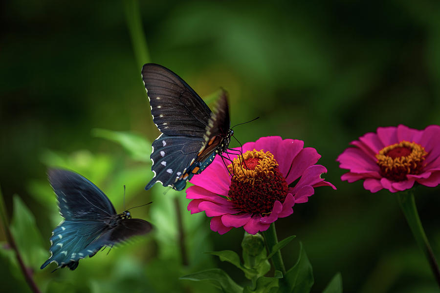 A Pair of Butterfiles by Allin Sorenson
