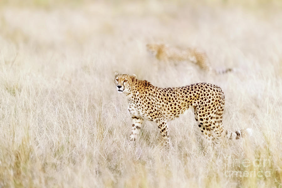 A pair of cheetahs move steathily through the long grass of the  by Jane Rix