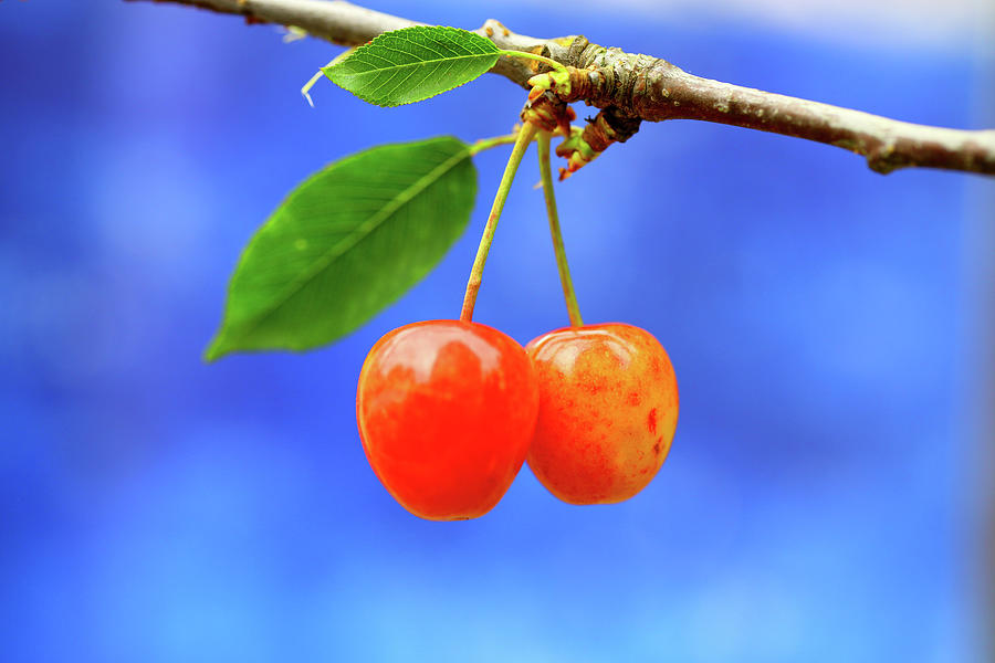 A Pair Of Cherries Riperning On A Tree Photograph by Martial Colomb
