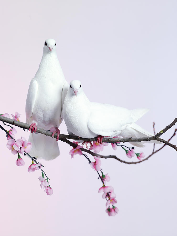 A Pair Of Doves Sat On A Branch With Photograph by Walker And Walker