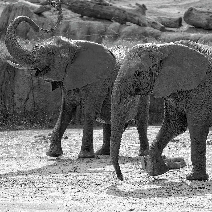 A Pair Of Elephants Photograph