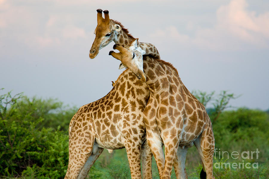 Love Photograph - A Pair Of Giraffe Entwining Their Necks by Tim booth