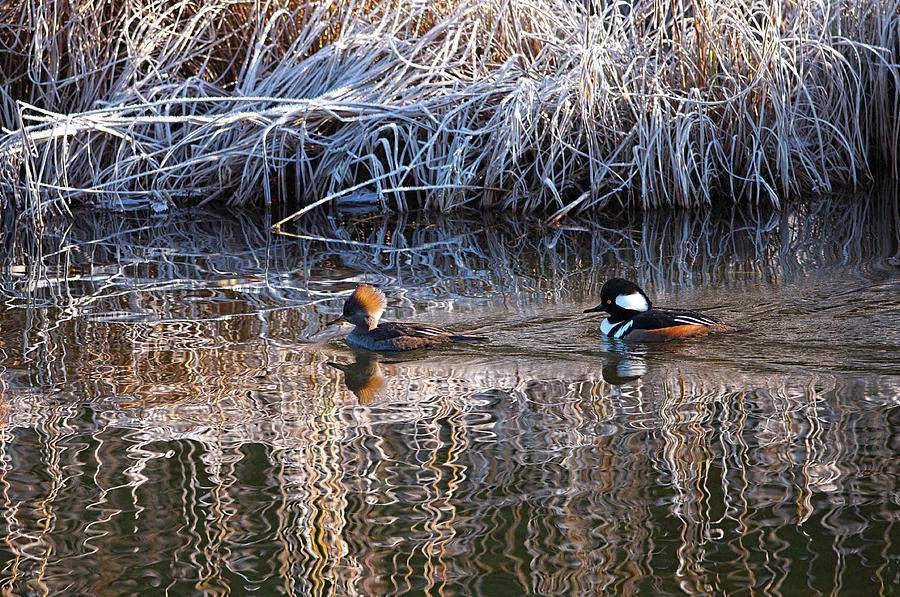 A Pair of Hooded Mergansers Swimming in River by Sharon Talson