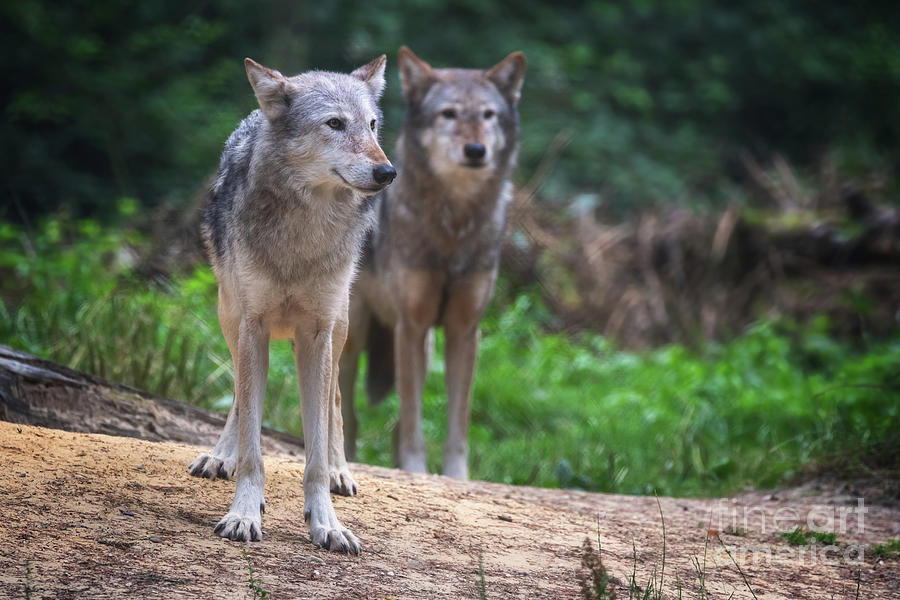 A pair of Mackenzie Valley wolves by Jane Rix