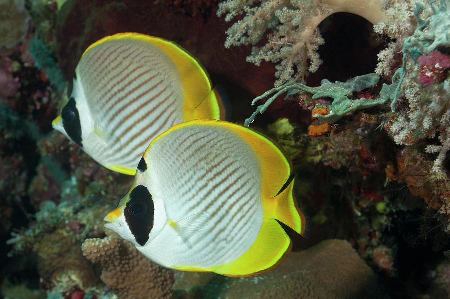A Pair Of Panda Butterflyfish Photograph by Jeff Hunter