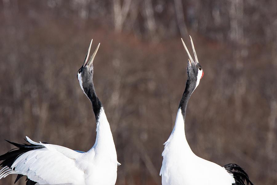 A Pair of Red-Crowned Cranes Singing a Duet - Hokkaido, Japan by Ellie Teramoto