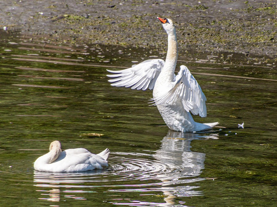 A Pair Of Swans by Claude Dalley