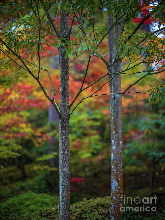 A Pair Of Trees Fall Colors Photograph