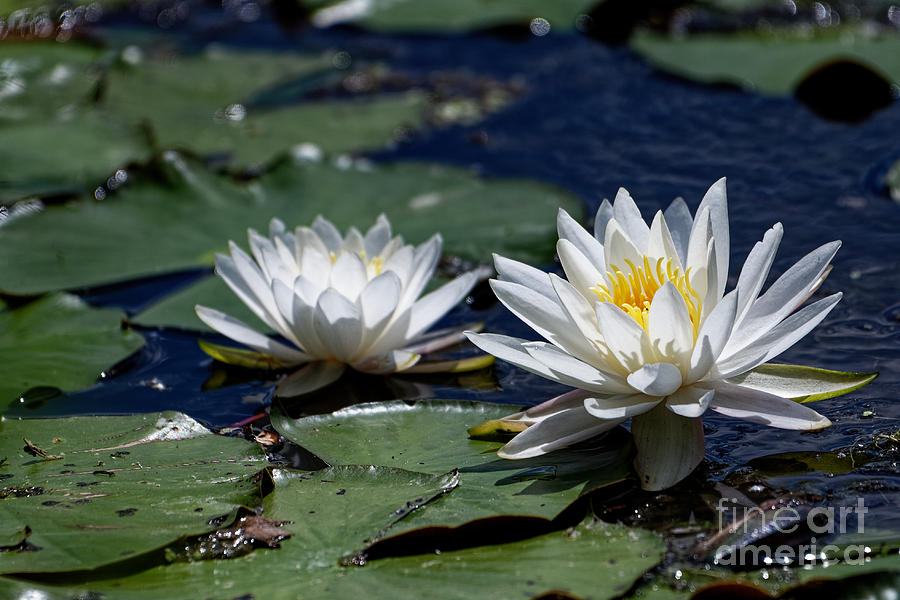 A Pair Of Water Lilies by Paul Mashburn