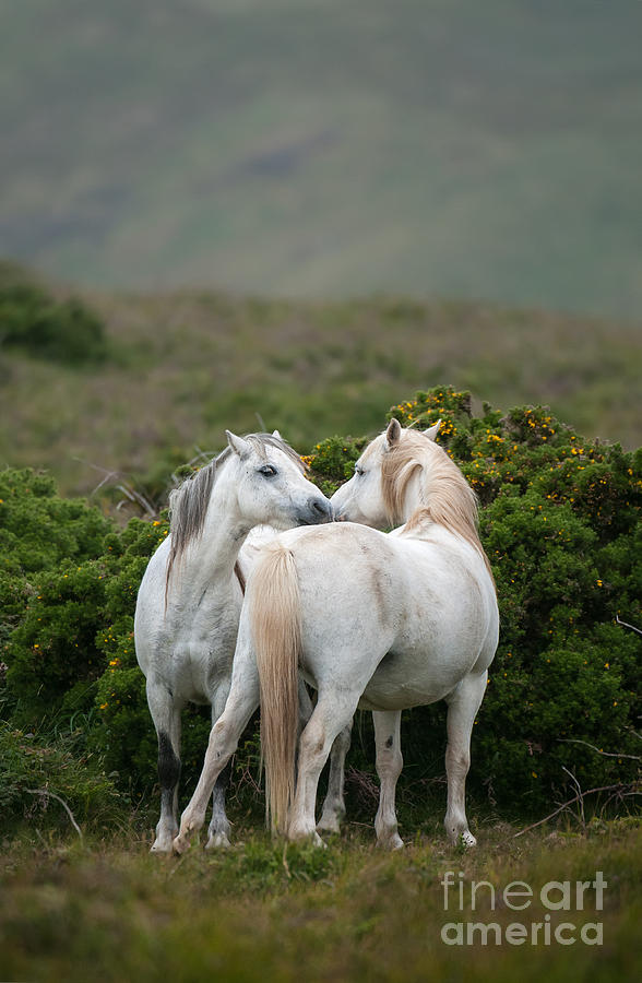 Equestrian Photograph - A Pair Of Welsh Mountain Ponies Greet by Philip Ellard