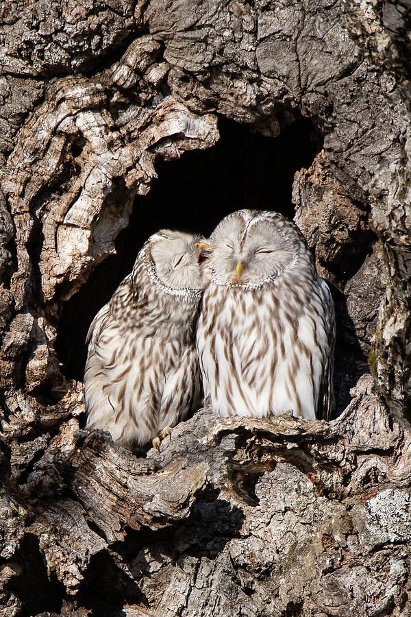 A Pair of Yezo Ural Owl Preening - Hokkaido, Japan by Ellie Teramoto