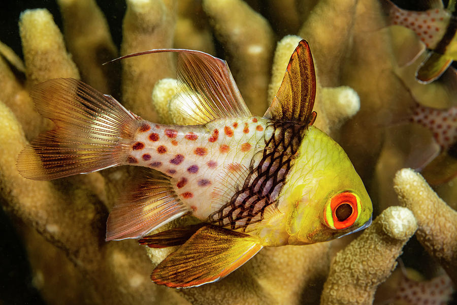 A Pajama Cardinalfish  Sphaeramia by Dave Fleetham