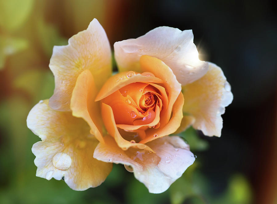 A Peachy Rose  by Saija Lehtonen