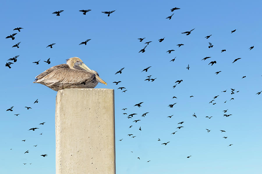A pelican rests high on a cement piling.  by Manny DaCunha