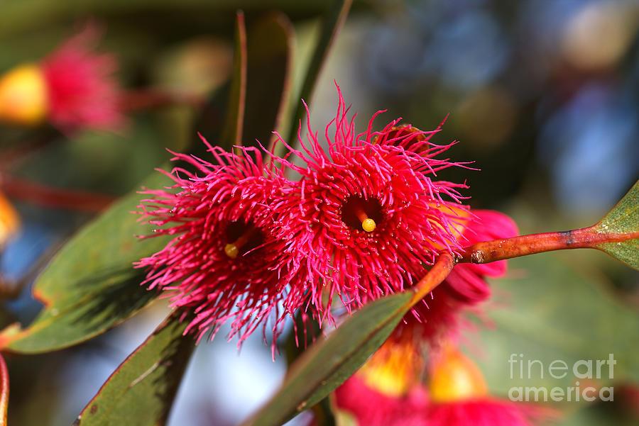 A Pink Eucalyptus Flower Duo by Joy Watson
