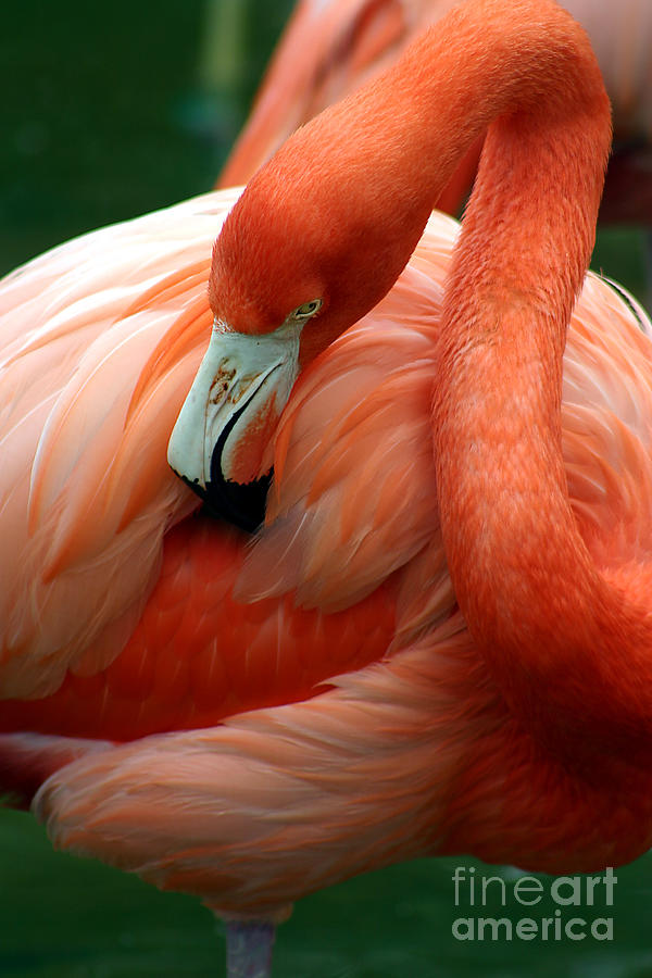 Winged Photograph - A Pink Flamingo Grooming Herself At Sea by Bo Vilmos Widerberg