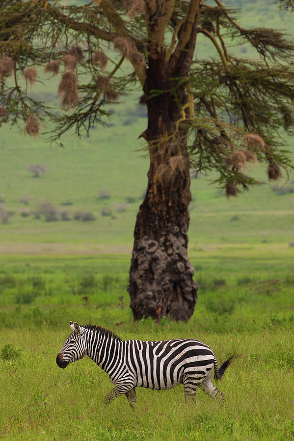 A Plains Zebra In Ngorongoro Photograph by Mint Images - Art Wolfe