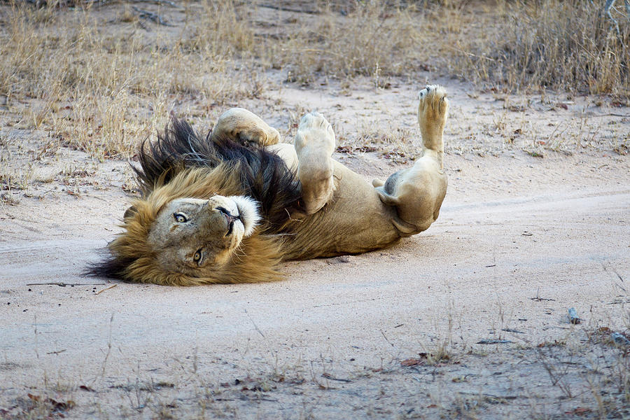 A Playful Male Lion Lying On His Back Photograph by Sean Russell