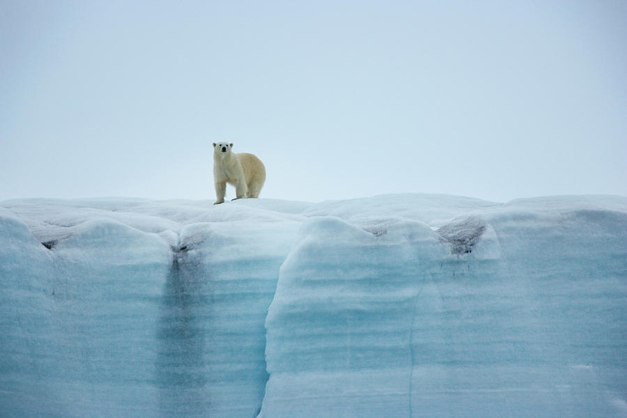 A Polar Bear On The Ice In Svalbard Photograph by Mint Images - Art Wolfe