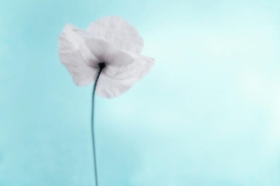 A Poppy Against A Cool Blue Background Photograph by Alexandre Fp
