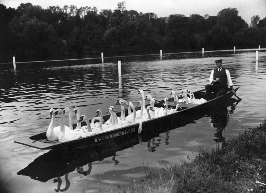 A Punt Full Of Swans Photograph by Hulton Archive