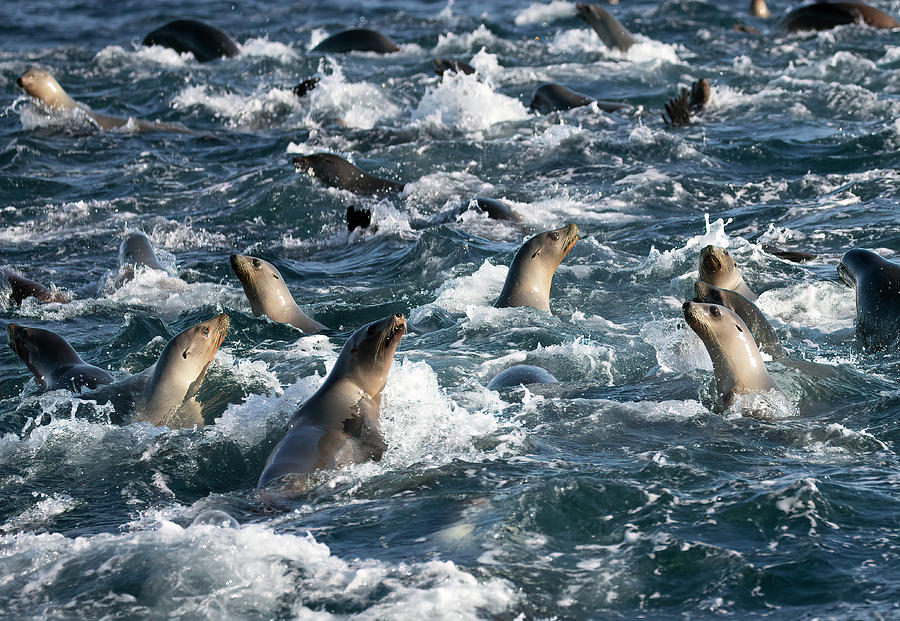 A Raft of Sea Lions by Cheryl Strahl