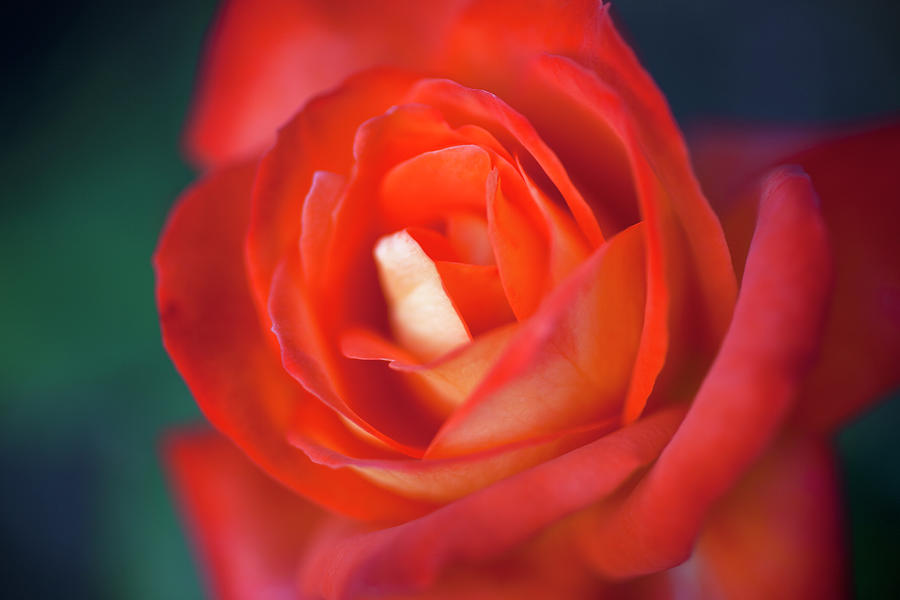 A Red Rose, Extreme Close Up, Selective Photograph by Tobias Titz