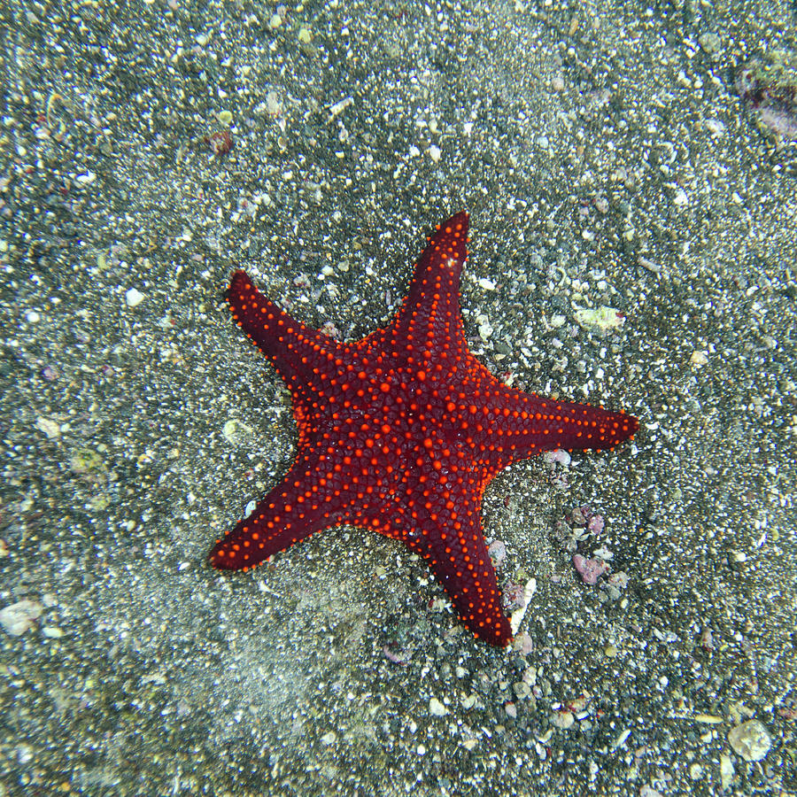 A Red Starfish Photograph by Keith Levit / Design Pics