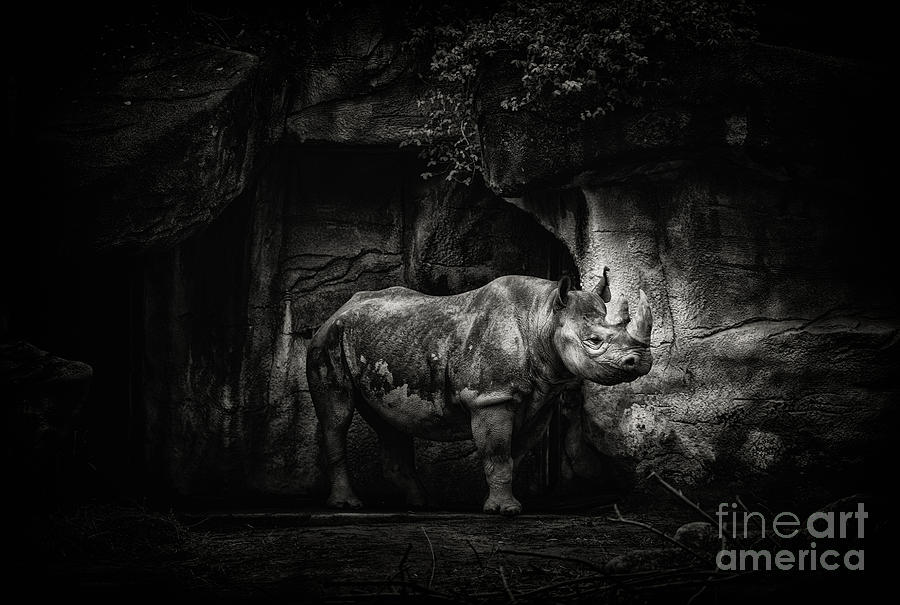 A Rhino in Black and White by Julian Starks