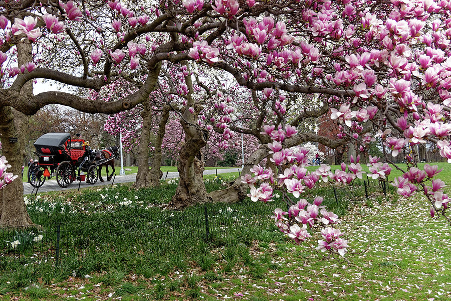 A Ride through Magnolia Blossoms by Cornelis Verwaal