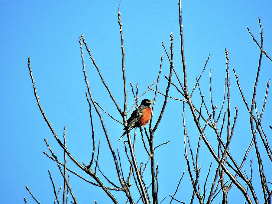 A Robin In Early Spring Photograph