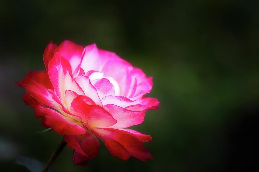 A Rose... by Cyndy Doty