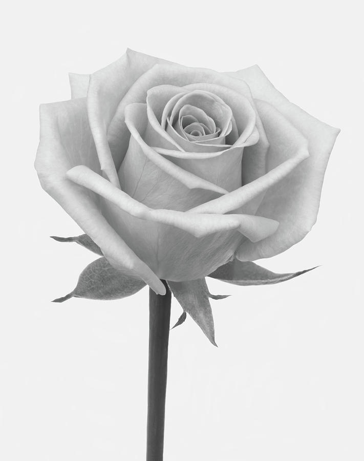 A Rose In Shades Of Grey Photograph by Rosemary Calvert