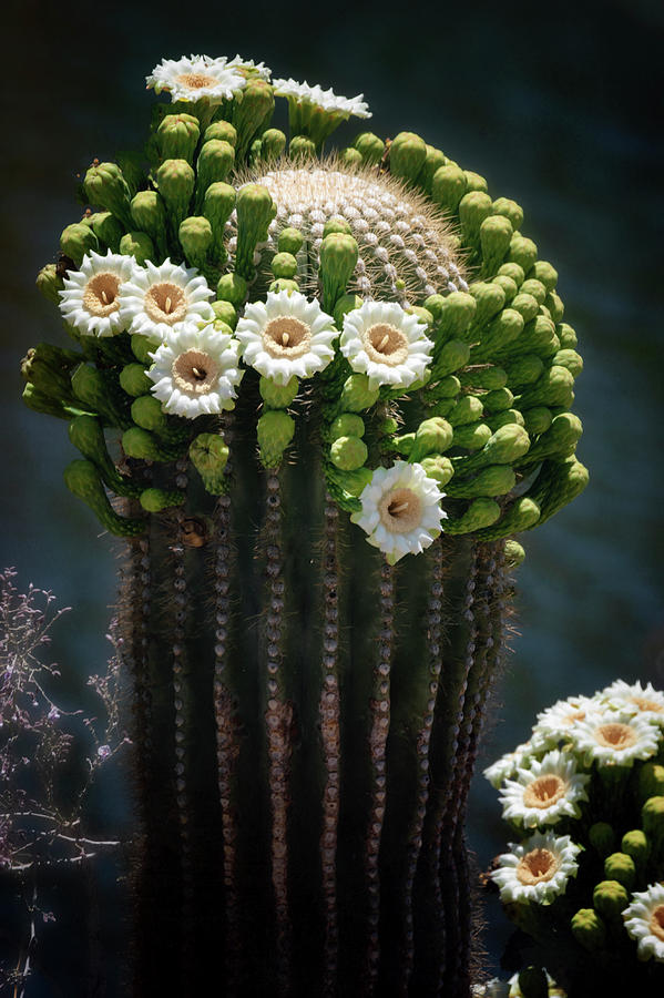 A Saguaro Crown  by Saija Lehtonen