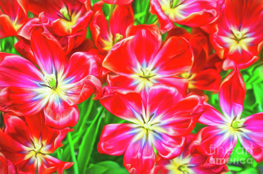 A Sea of Brilliant Red Tulips by Sue Melvin
