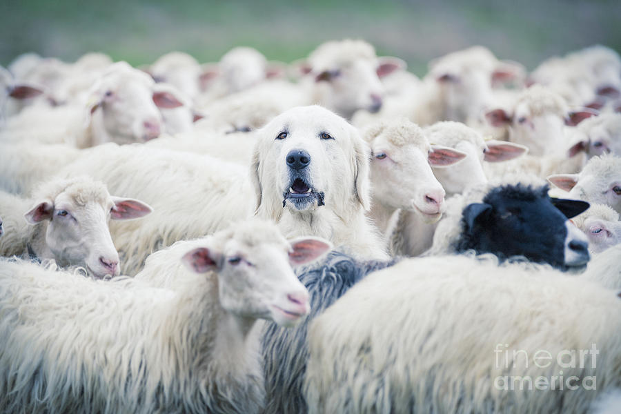 Crowd Photograph - A Shepherd Dog Popping His Head Up From by Anadman Bvba