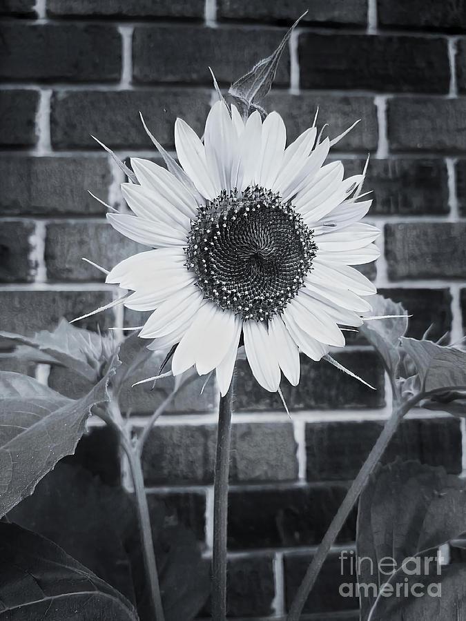 A Single Black And White Sunflower by Rachel Hannah