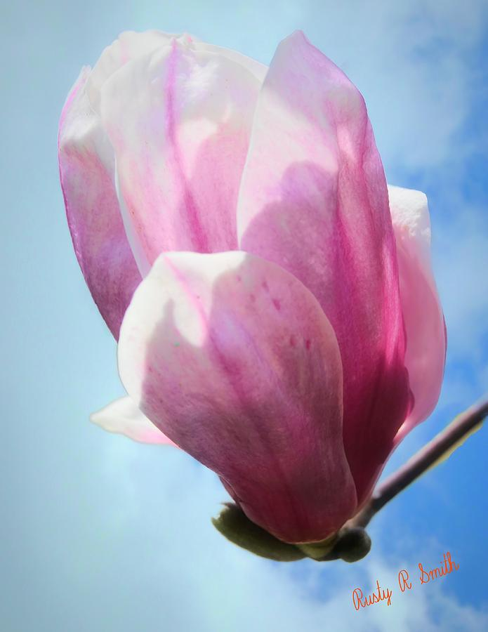 A single tulip tree blossom. by Rusty R Smith