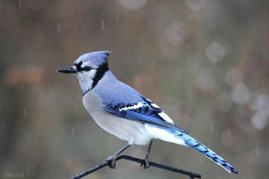 A Snowy Day with Blue Jay by Trina Ansel