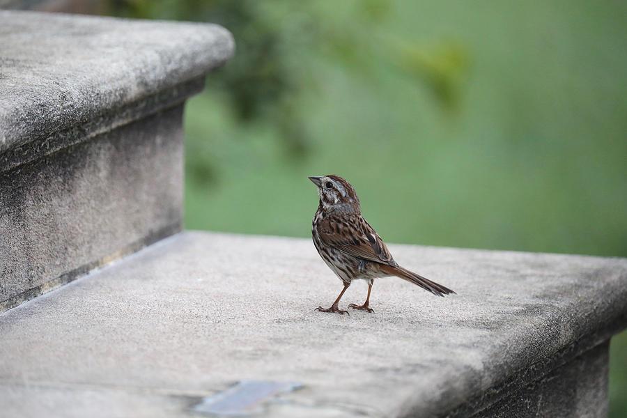 A Sparrow on a Church Step by Rachel Morrison