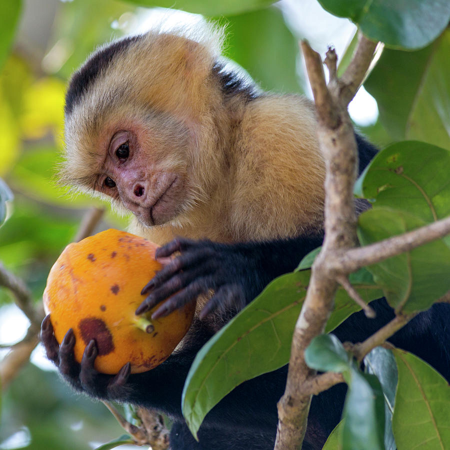Monkey Photograph - A Study Of Citrus Fruit by Betsy Knapp