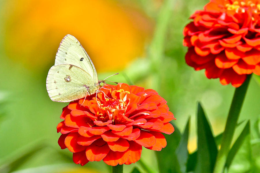 A sulphur butterfly on zinnias 7382 by Michael Peychich