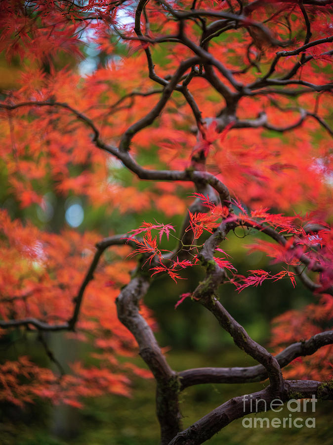 A Tangle Of Red Maples Photograph