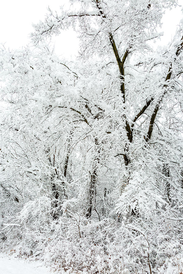 A Tangle of Trees in the Snow by Terri Morris