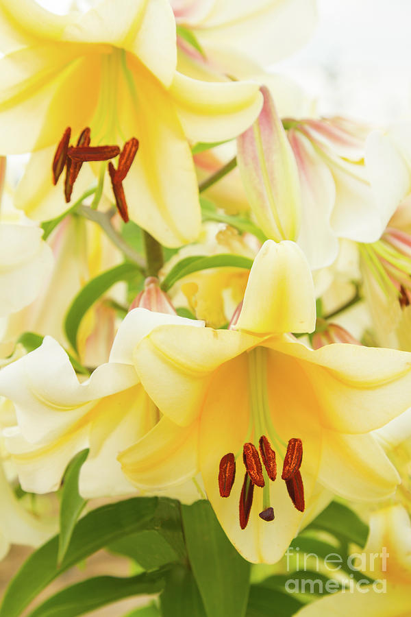 Lilies Photograph - A Tower Of Lilies by Marilyn Cornwell
