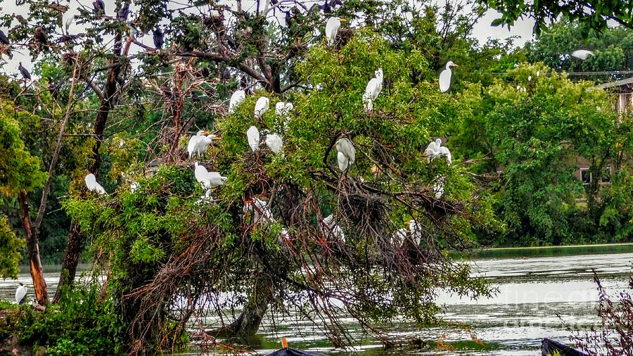 A Treehouse For Egrets Photograph