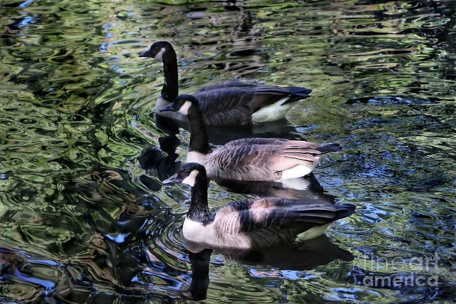 A Trio of Canadian Geese by Sandra Huston
