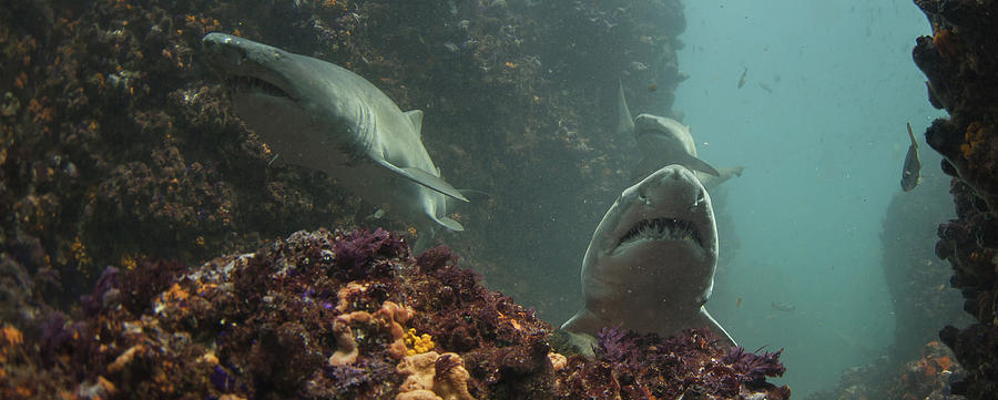 A Trio Of Ragged Tooth Sharks Foraging Photograph by Rainer Schimpf